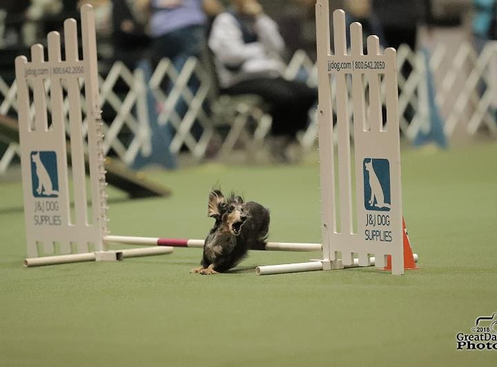 Mo, a long-haired miniature dachshund owned by Carole Krivanich andSally Waldie of Milton, competes in agility.