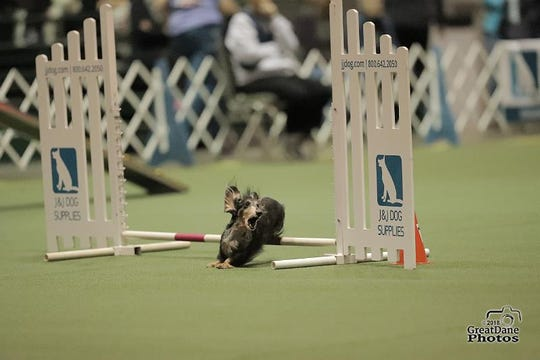 Mo, a long-haired miniature dachshund owned by Carole Krivanich and Sally Waldie of Milton, competes in agility.
