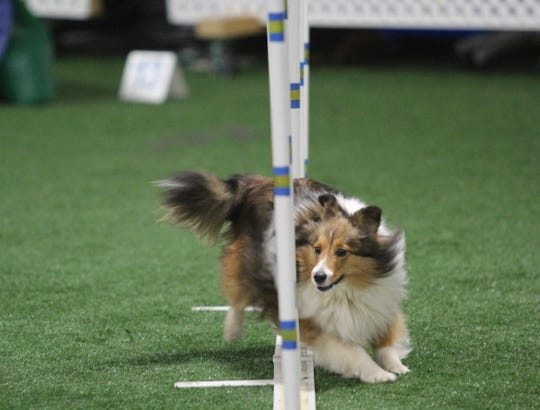 Pippa, a Shetland sheepdog owned by Kate Felton of Bellefonte, competes at the 2019 Westminster Masters Agility Championship on Saturday, Feb. 9, 2019.