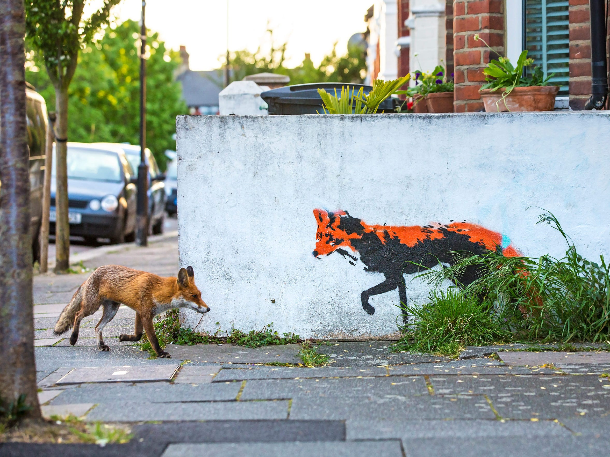 """Matthew Maran's photo """"Fox Meets Fox"""" was named Highly Commended by the Wildlife Photographer of the Year LUMIX People's Choice Award. Maran has been photographing foxes close to his home in north London for over a year and ever since spotting this street art had dreamt of capturing this image. After countless hours and many failed attempts his persistence paid off."""