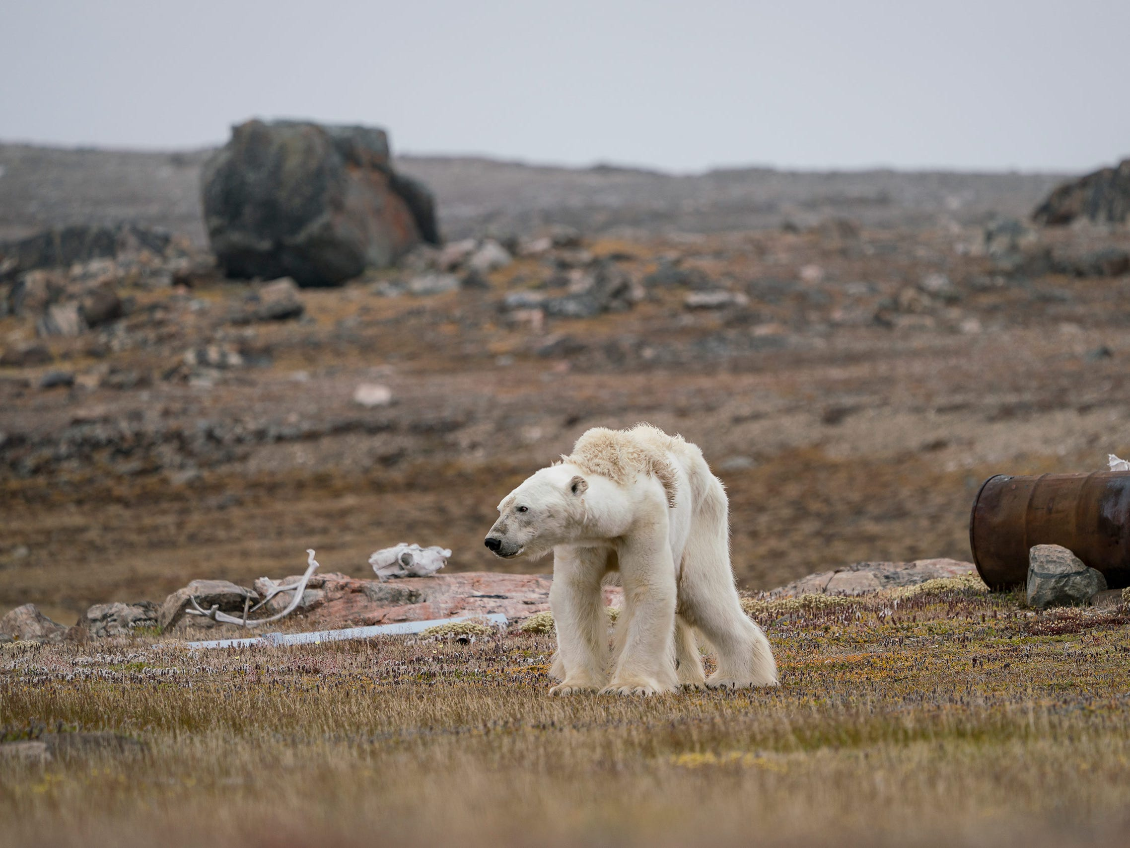 """Justin Hofman's photo """"A Polar Bear's Struggle"""" was named Highly Commended by the Wildlife Photographer of the Year LUMIX People's Choice Award. Hofman captures a starving polar bear at an abandoned hunter's camp, in the Canadian Arctic, slowly heave itself up to standing. With little, and thinning, ice to move around on, the bear is unable to search for food."""