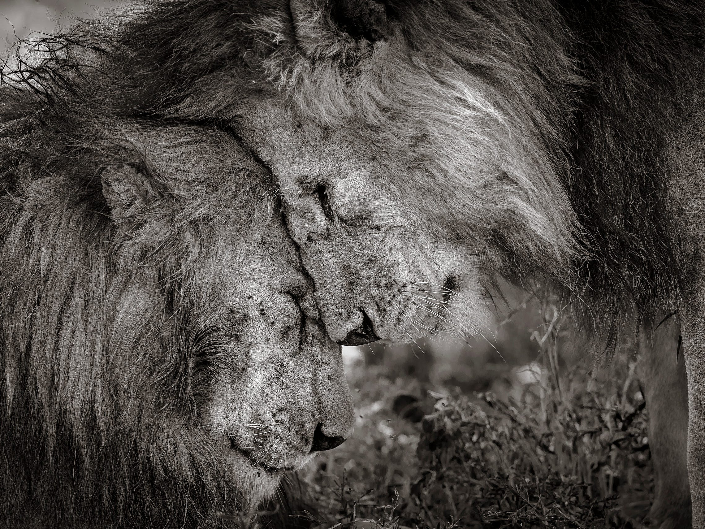"""London-based photographer David Lloyd's photograph """"Bond of Brothers"""" is the winner of the Wildlife Photographer of the Year LUMIX People's Choice Award. In the photo, two adult male lions, probably brothers, greeted and rubbed faces for 30 seconds before settling down."""