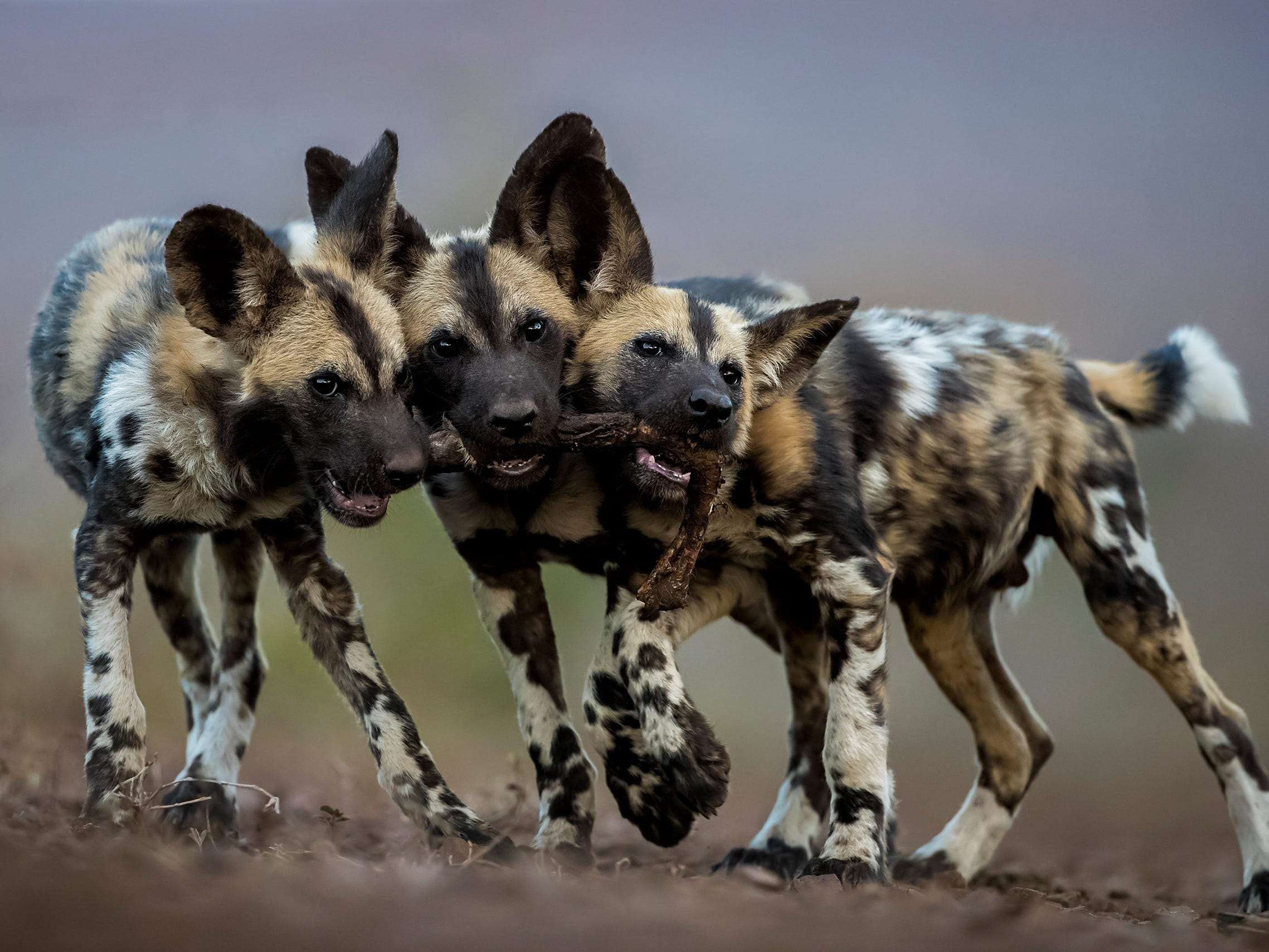 """Bence Mate's photo """"One Toy, Three Dogs"""" was named Highly Commended by the Wildlife Photographer of the Year LUMIX People's Choice Award. Bence photographed these wild African pups in Mkuze, South Africa, playing with the leg of an impala."""