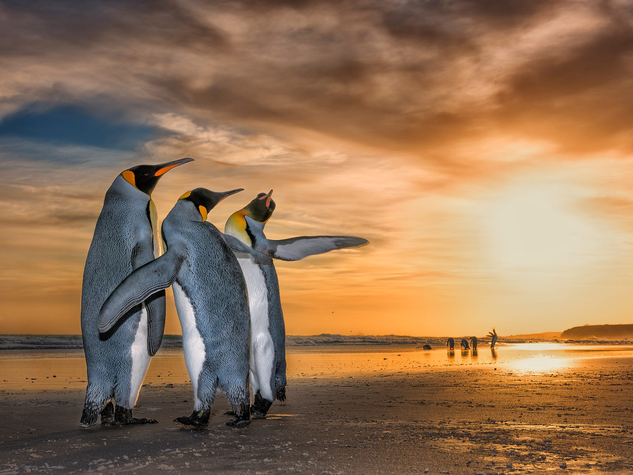 """Wim Van Den Heever's photo """"Three Kings"""" was named Highly Commended by the Wildlife Photographer of the Year LUMIX People's Choice Award. Wim came across these king penguins on a beach in the Falkland Islands just as the sun was rising. They were caught up in a fascinating mating behaviour in which the two males constantly move around the female using their flippers to fend the other off."""
