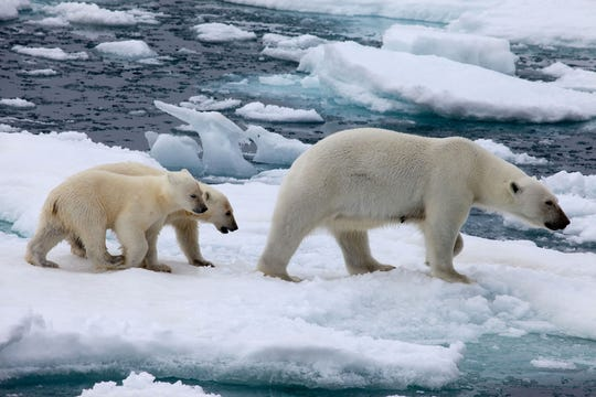 A pair of polar bear cubs trail their mother in Svalbard, Norway, in this file photo.  Dozens of polar bears are terrorizing a remote Russian village this winter.