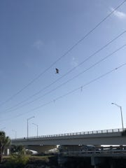 Seagull caught in electrical lines near Sand Point Park in Titusville.