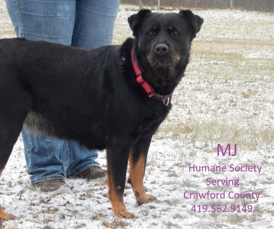 Meet MJ, a 4-year-old girl that loves everyone! MJ is very loyal and sweet, plus she knows some tricks. She knows how to sit, stay and lay down, and she doesn't have bad leash manners. MJ rides well in a car and loves to play fetch. While she has been around other dogs, she doesn't do well with cats. MJ will be microchipped, vaccinated, dewormed and heart worm tested prior to her adoption. Visit her at the Humane Society Serving Crawford County, 3590 Ohio 98, Bucyrus. For questions, call 419-562-9149.