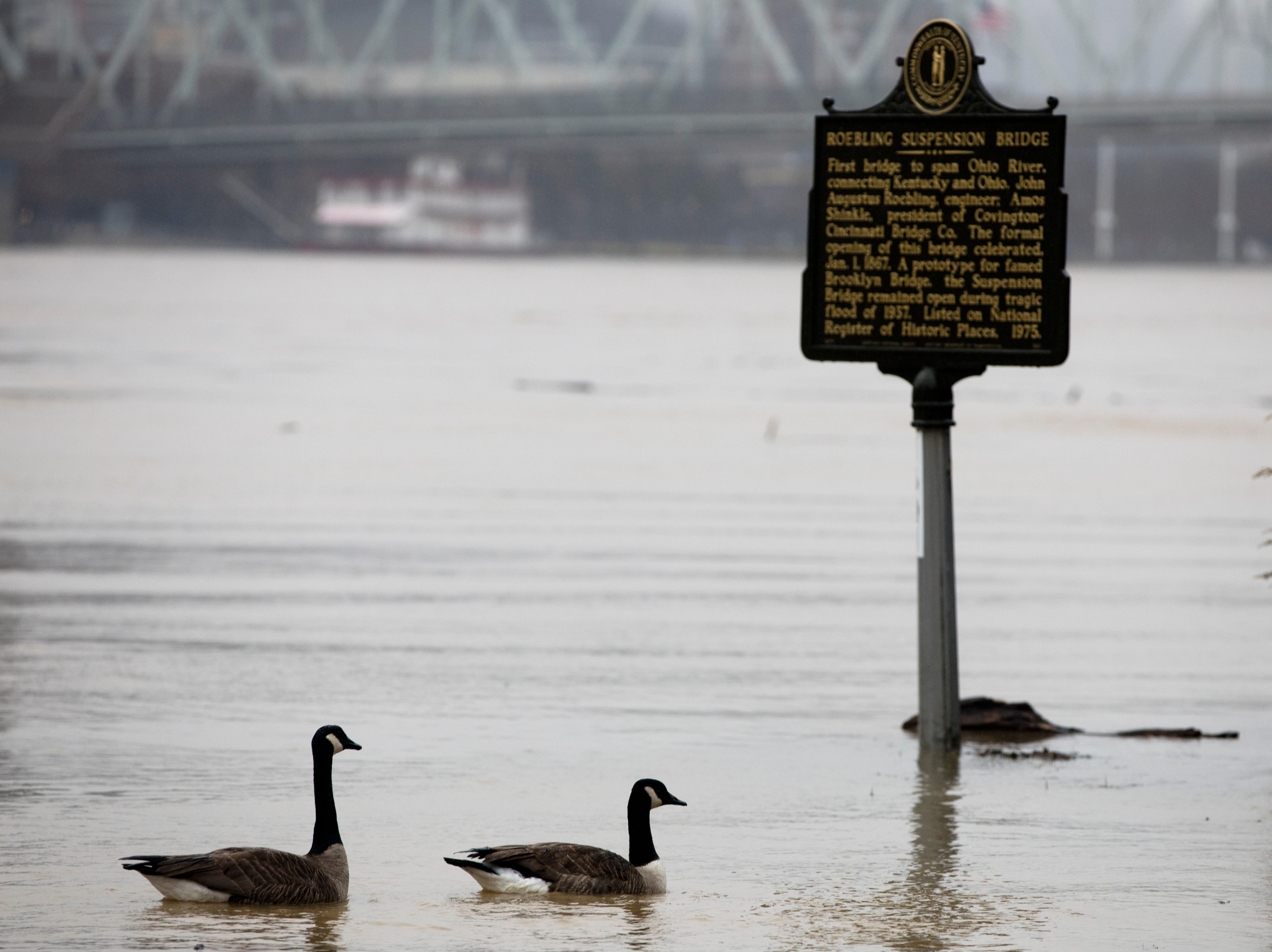 Geese swim on Riverside Place in Covington on Tuesday, Feb. 12, 2019. The Ohio River is expected to crest at 56.3 feet at 1 a.m. Wednesday, Feb. 13.