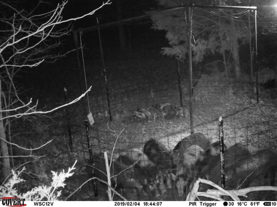 A photo of a group of wild hogs and their baby pigs trapped last week on Fort Henry Road, just north of Dover in the Land Between the Lakes National Recreation Area.