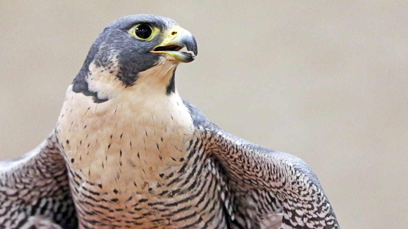 Zion closes rock climbing sites for Peregrine falcons