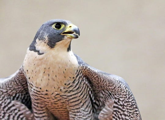 Falcons nesting in Zion National Park's iconic cliffsides have prompted a temporary closure of popular climbing spots.