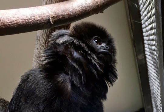 Kali, a 12-year-old rare Goeldi's monkey, sits on a branch at an enclosure at the zoo, in West Palm Beach, Fla.
