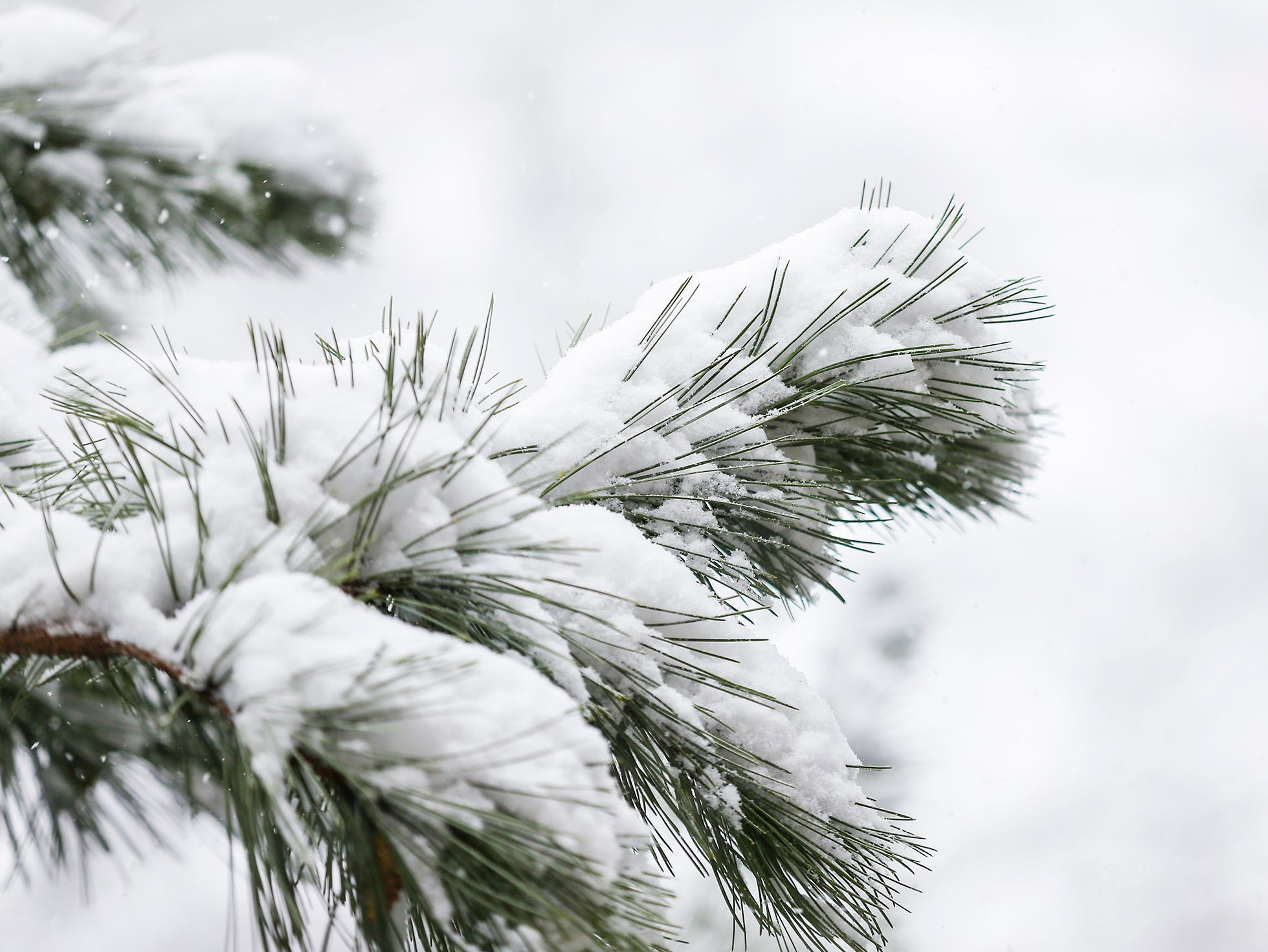 Snow covers a pine branch during a winter storm Tuesday, Feb. 12, 2019, in Fond du Lac, Wis. A winter storm warning was issued for the area.
