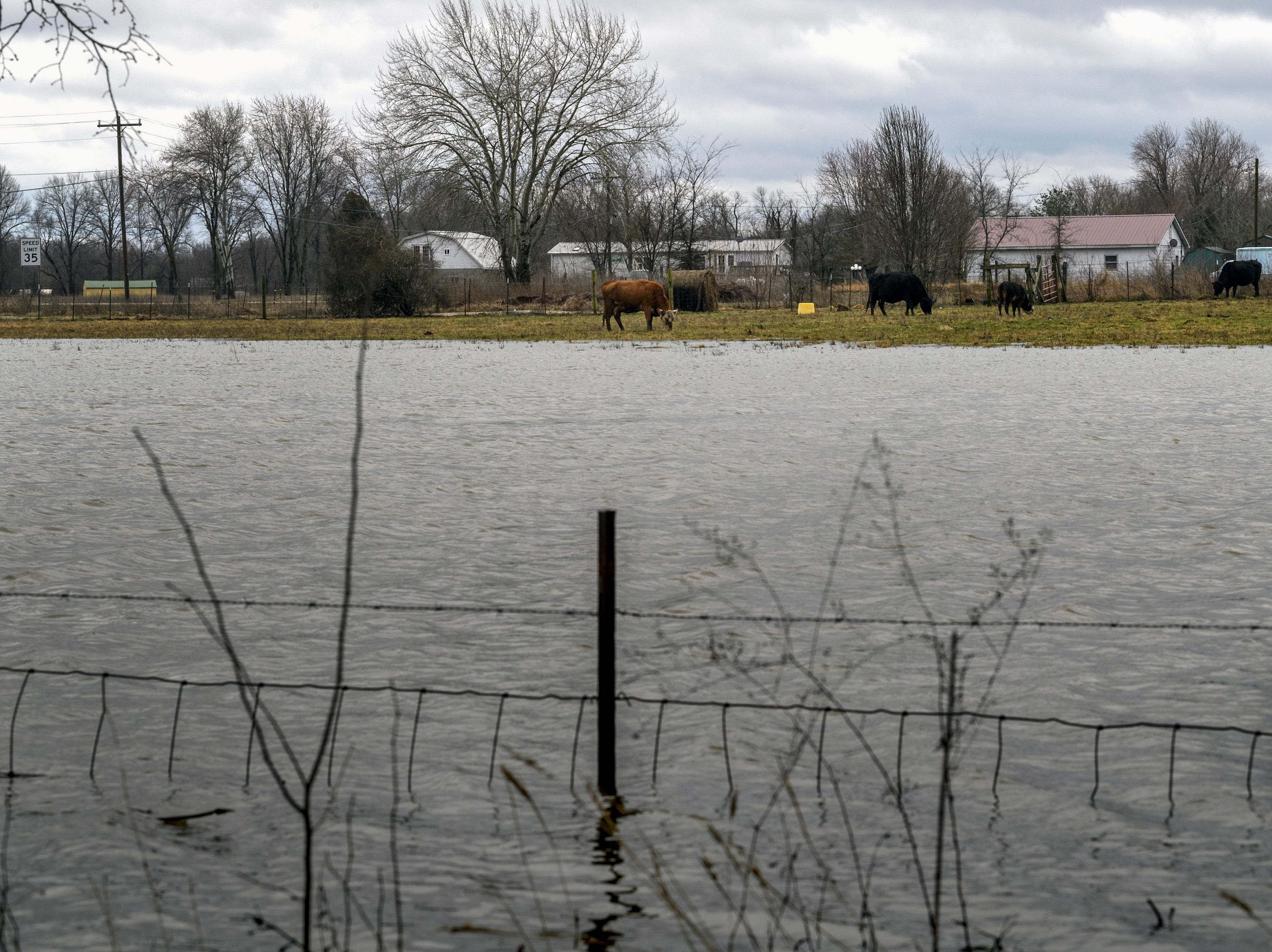 Cows graze as flooding begins to happen along West Pikes Landing Rd and KY-811 in Reed, Ky., Tuesday, Feb. 12, 2019. As of early Tuesday afternoon, the Ohio River at Evansville was measured to be 41 feet, one foot below flood stage, and the current forecast calls for the river to crest on Sunday at close to 44 feet.