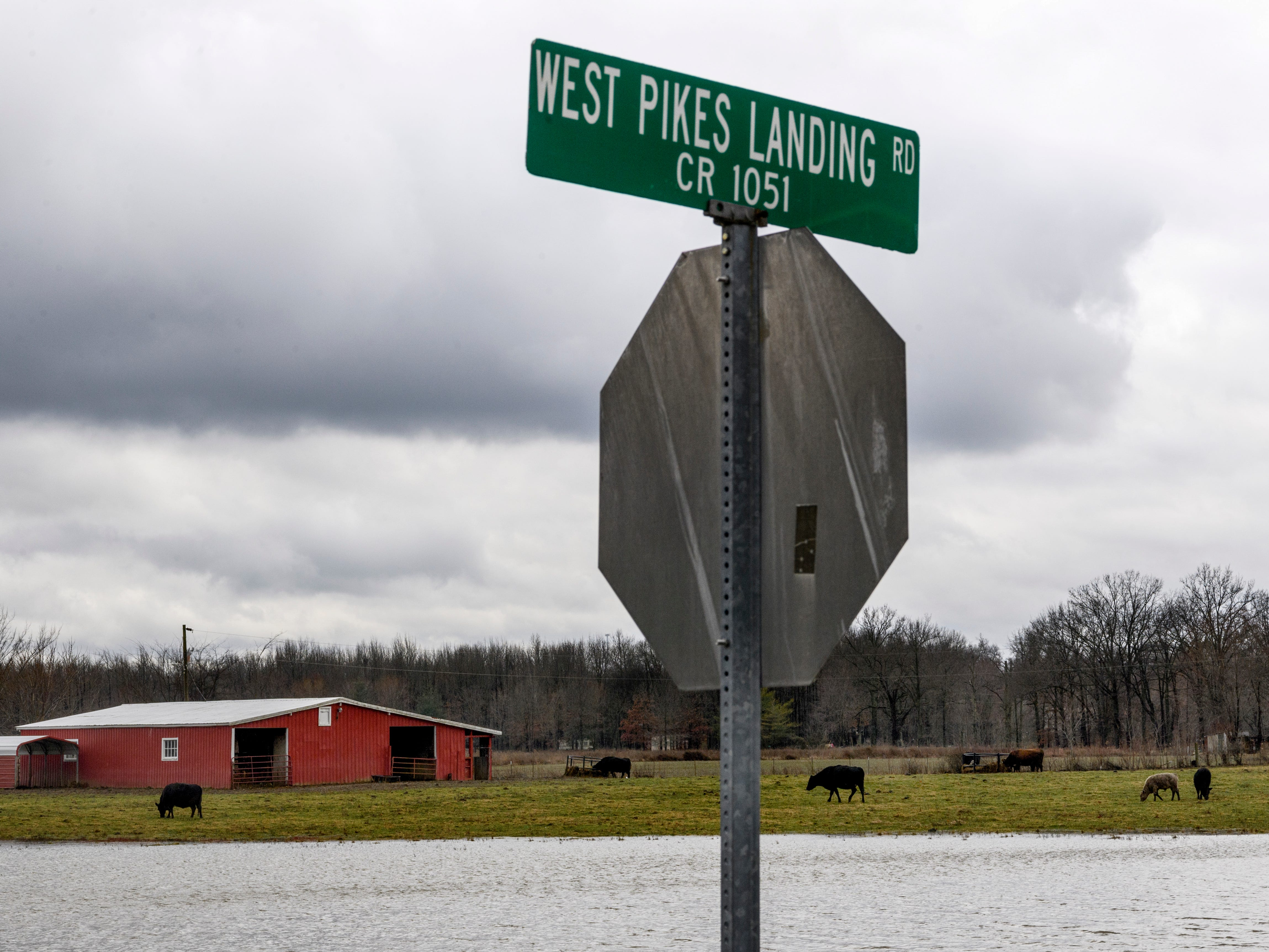 Cows, sheep and other animals graze as flooding begins to happen along West Pikes Landing Rd and KY-811 in Reed, Ky., Tuesday, Feb. 12, 2019. As of early Tuesday afternoon, the Ohio River at Evansville was measured to be 41 feet, one foot below flood stage, and the current forecast calls for the river to crest on Sunday at close to 44 feet.