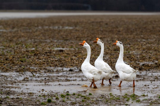 White Chinese geese roam around in the mud along Hossman Newburgh Road as more rainy weather hits Reed, Ky., Tuesday afternoon, Feb. 12, 2019.
