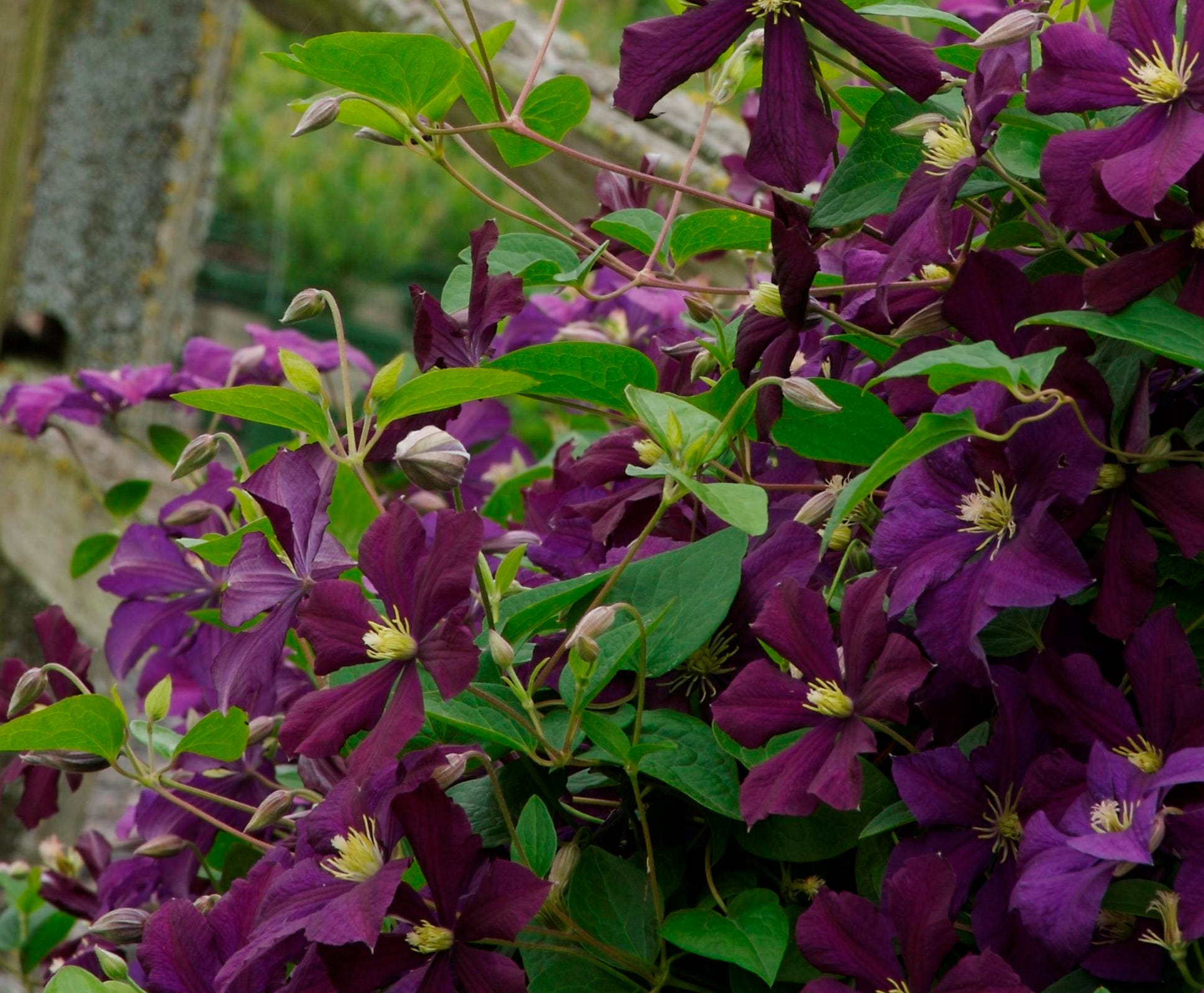Clematis expert Deborah Hardwick highly recommends 'Etoile Violette' for Midwestern gardens because of its beauty, long bloom period and easy care.