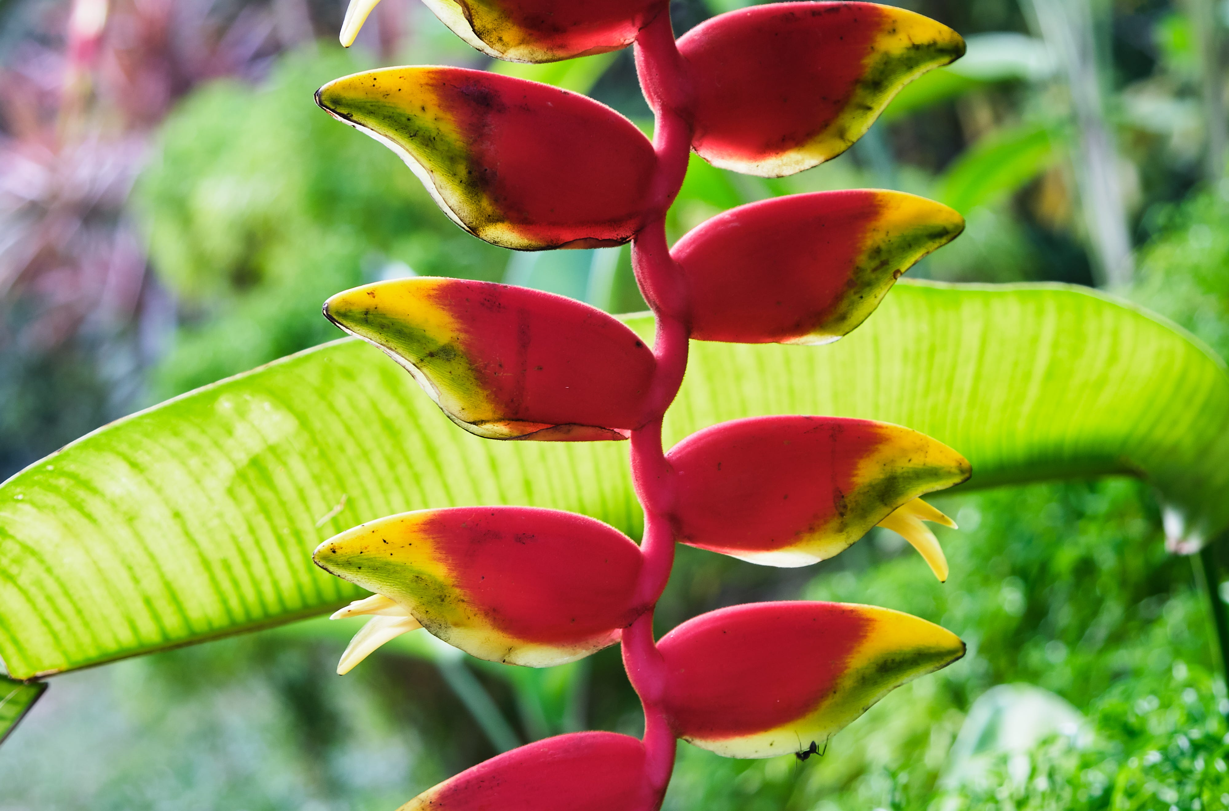 """Chris Woods, author of """"Gardenlust,"""" falls in love with plants and gardens all over the world, including the tropical heliconia."""
