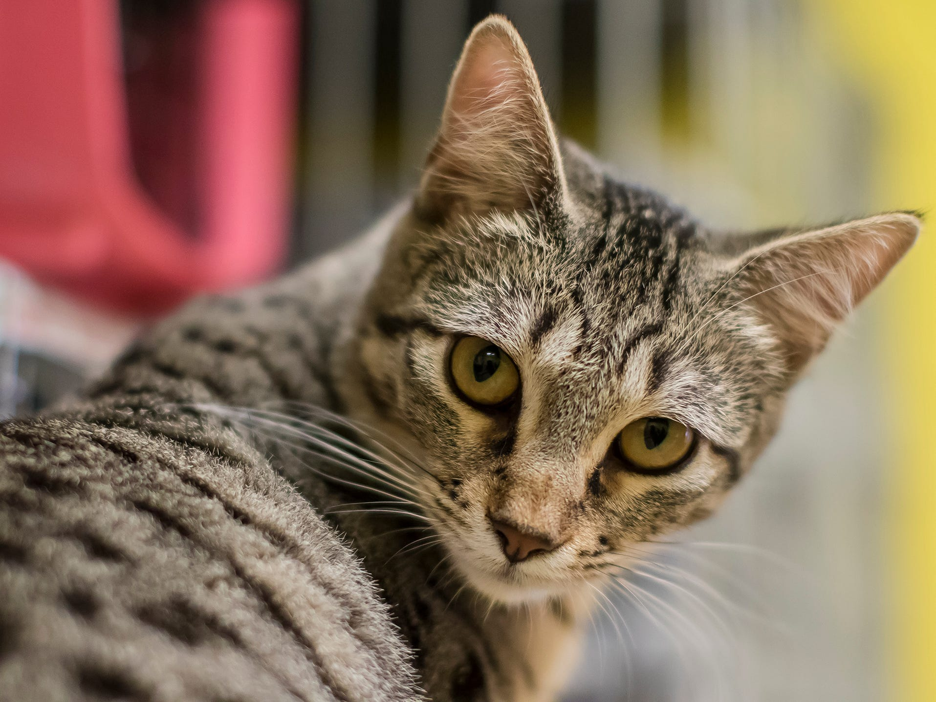 Sylvie is a playful tabby. She's 8 months old and likes other cats.