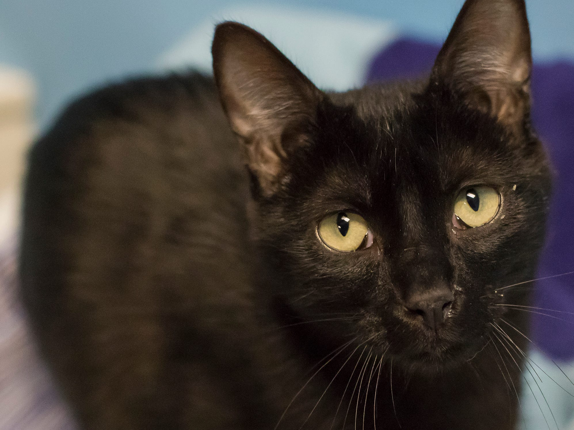 Billy Jo is a friendly neutered male who loves attention. The 7-month-old is very friendly. He and his brother Big Jo were hand raised and will enjoy company.