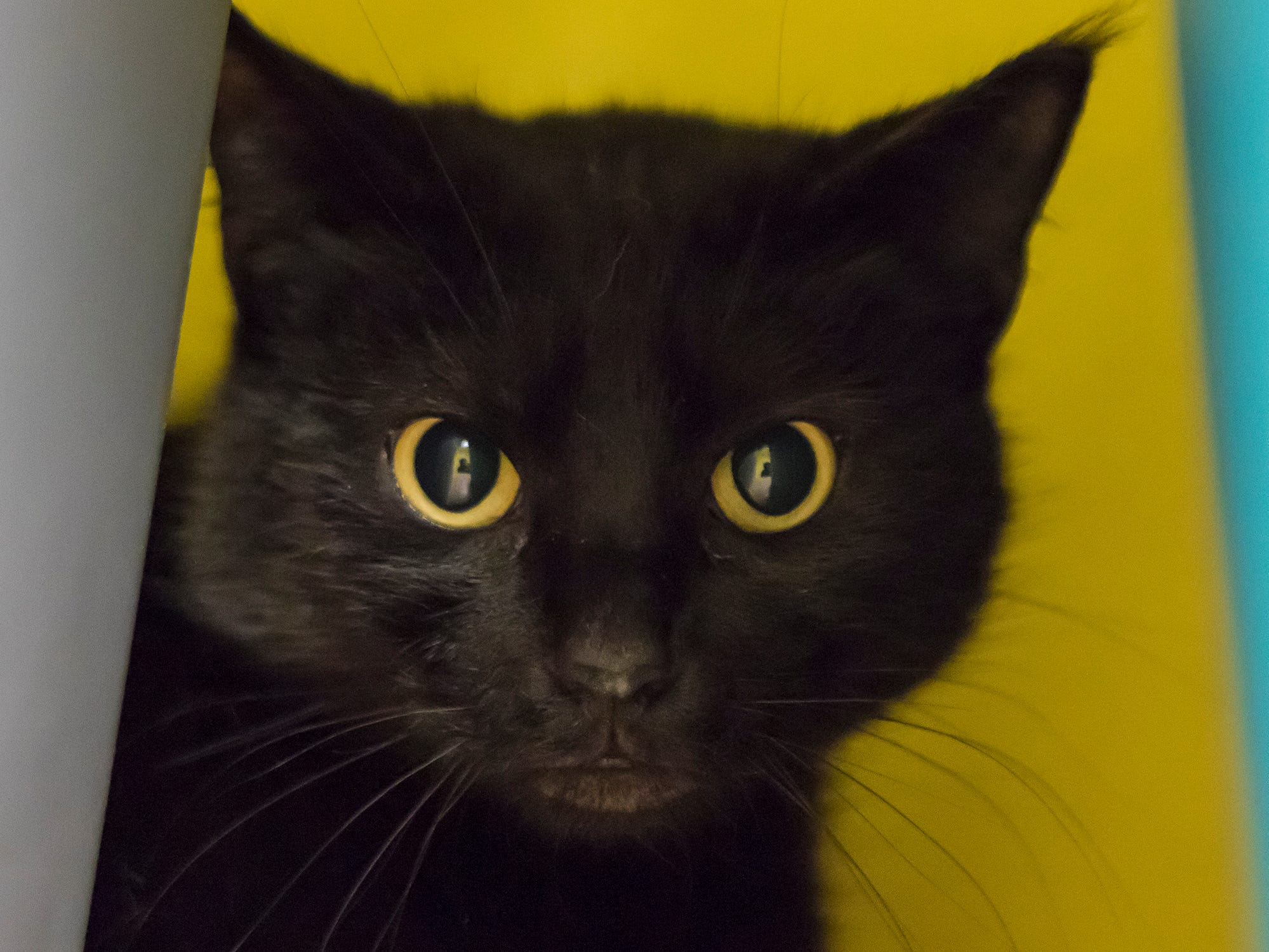 A variety of cats are available for adoption at the River Cities Humane Society for Cats in Monroe, La. For the month of February adoptions will cost $60 for all available cats.