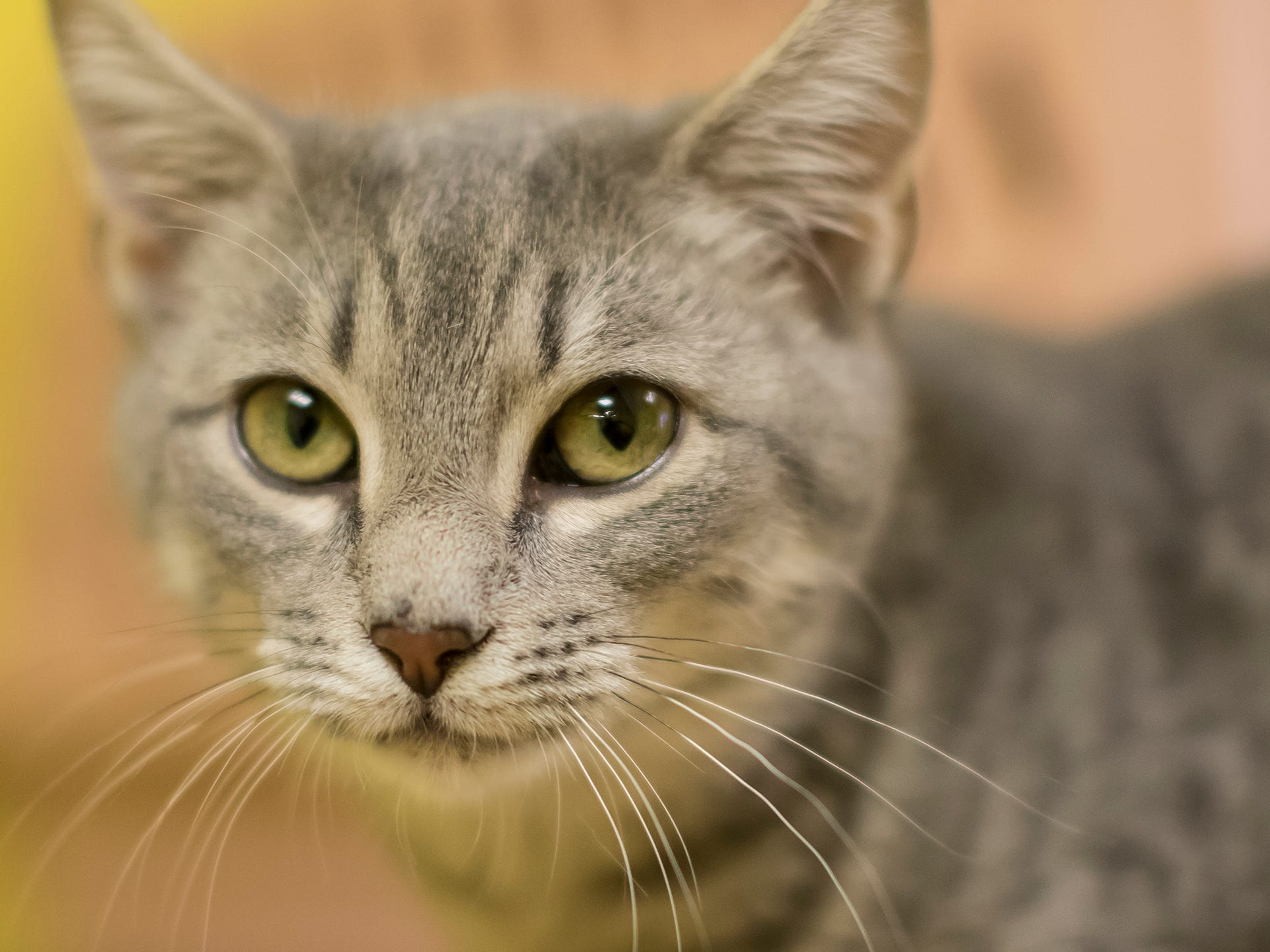 Ebie is active and likes playing with other cats. She's at the shelter with her sister Shay.