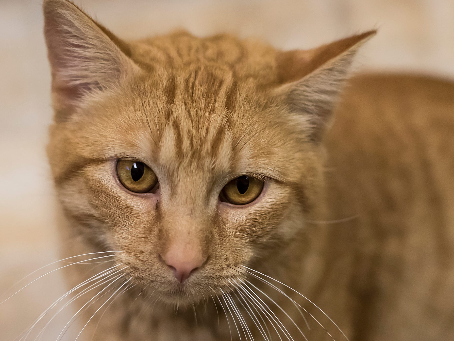 Mr. Pumpkin Fluffers is between 1 and 3 years old. He's friendly and enjoys chin scratches and belly rubs.