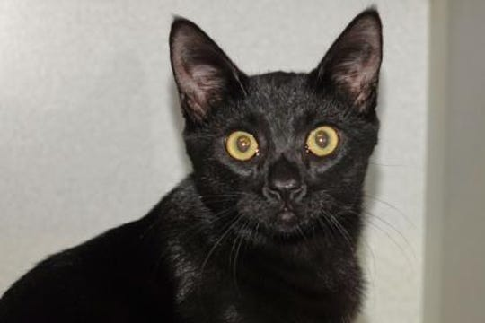 Bandicoot is a handsome solid black male kitten who needs a home.