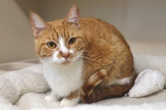 Christa is a 2-year-old short haired orange/white tabby, who was abandoned at the shelter's doorstep.