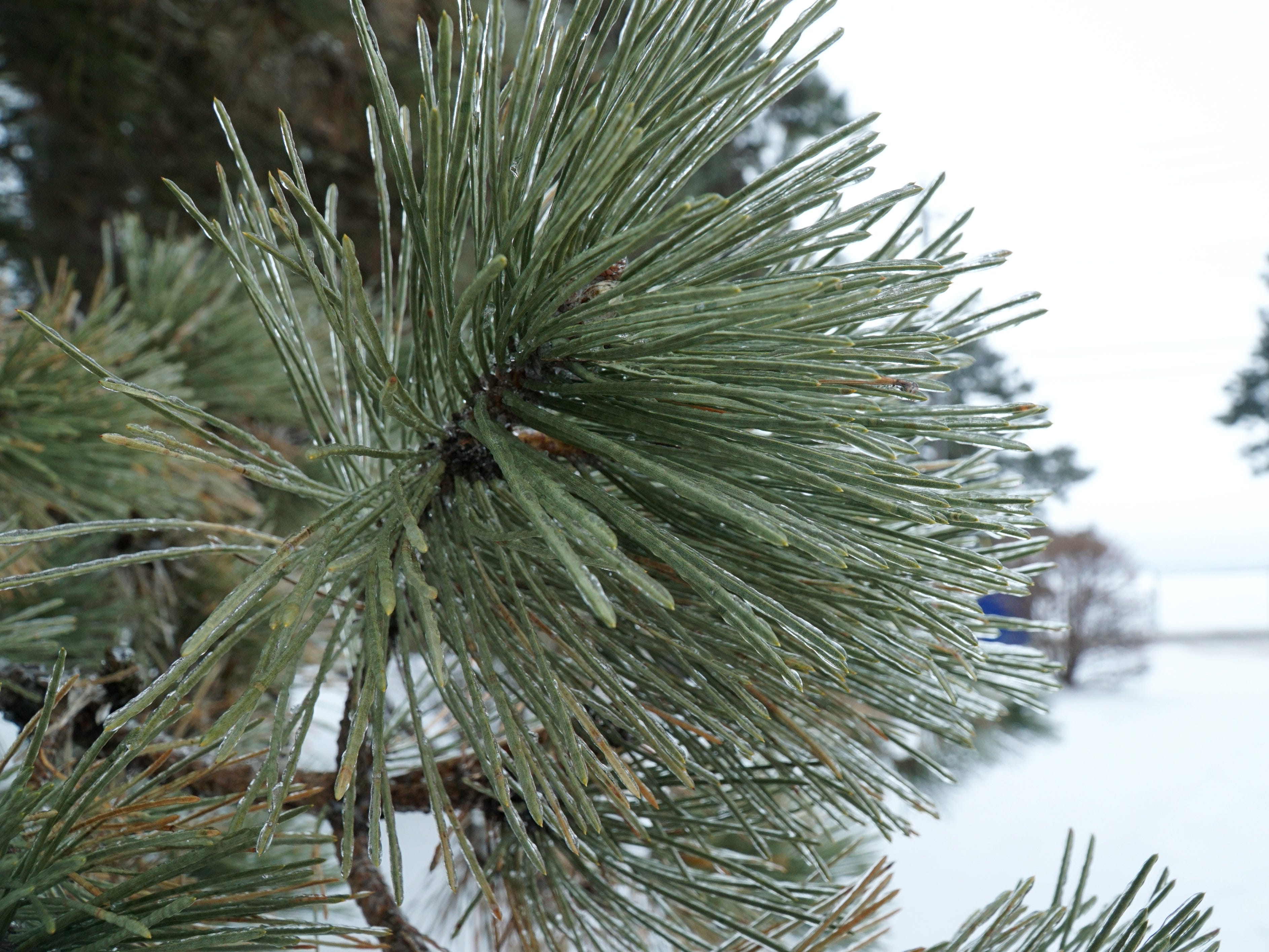 The rain and ice storm of Feb. 12 covered most trees in a layer of ice, including this Scotch Pine near Walled Lake.