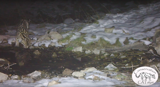 An ocelot drinks from a puddle in a mountain range south of Tucson. The rare animal was caught on a trail camera.