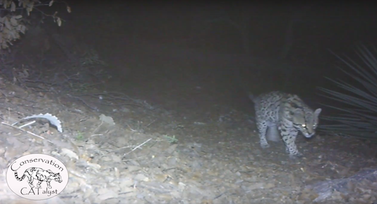 A rare ocelot was captured by a trail camera in a mountain range south of Tucson. Ocelots are not often sighted in Arizona.