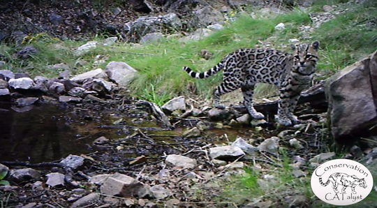 This ocelot was caught on a trail camera in a mountain range south of Tucson. Ocelots are rare in the U.S. and rarer still in Arizona.
