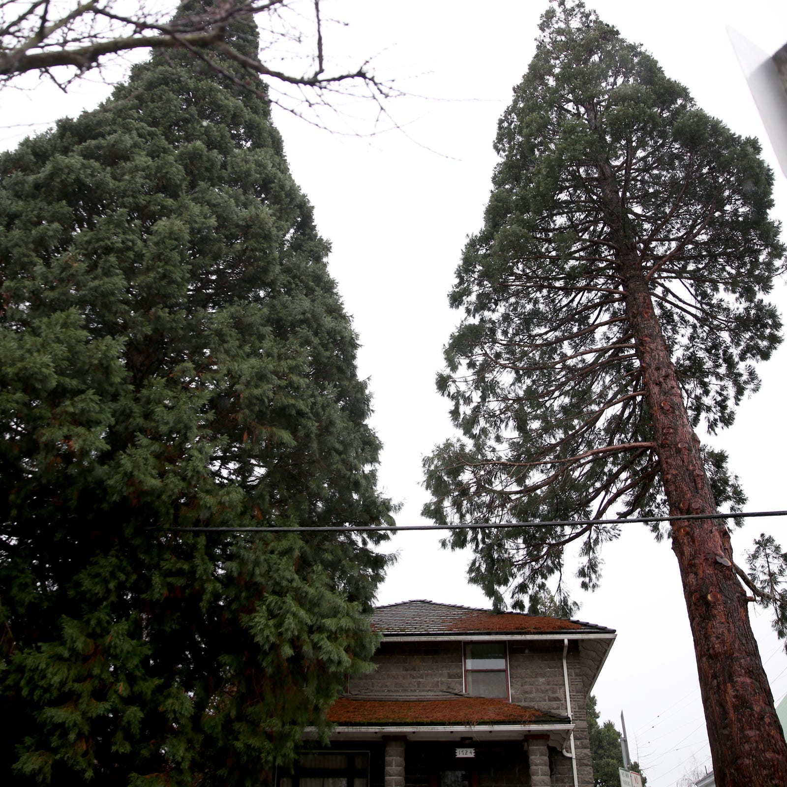 Salem says giant sequoia trees in historic district have to stay - for now