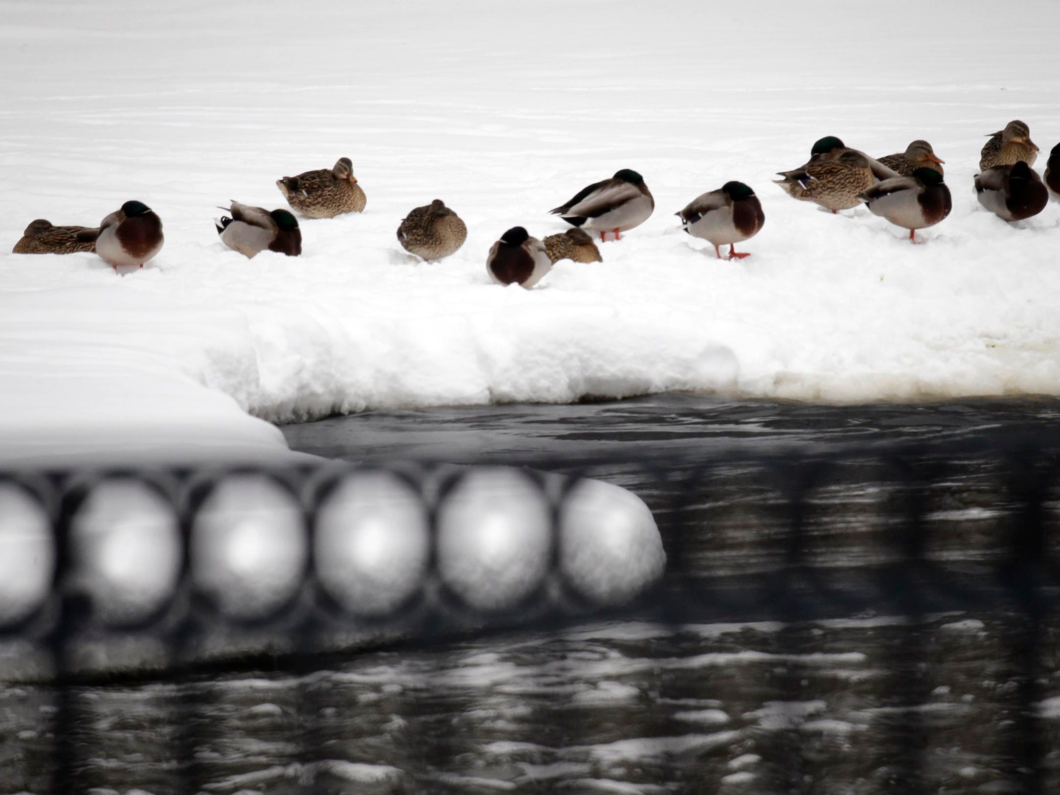 Water fowl wait out the weather on the Sheboygan River at Settlers Park, Tuesday, February 12, 2019, in Sheboygan Falls, Wis.