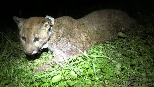 In this Feb. 5 photo provided by the Audubon Canyon Ranch is the collared mountain lion P15 Jupiter that was part of a research project near Mount Veeder Road in Napa County. The fatal shooting of a young mountain lion in Northern California that was part of a research project has set off angry criticism and left a family defending its actions.