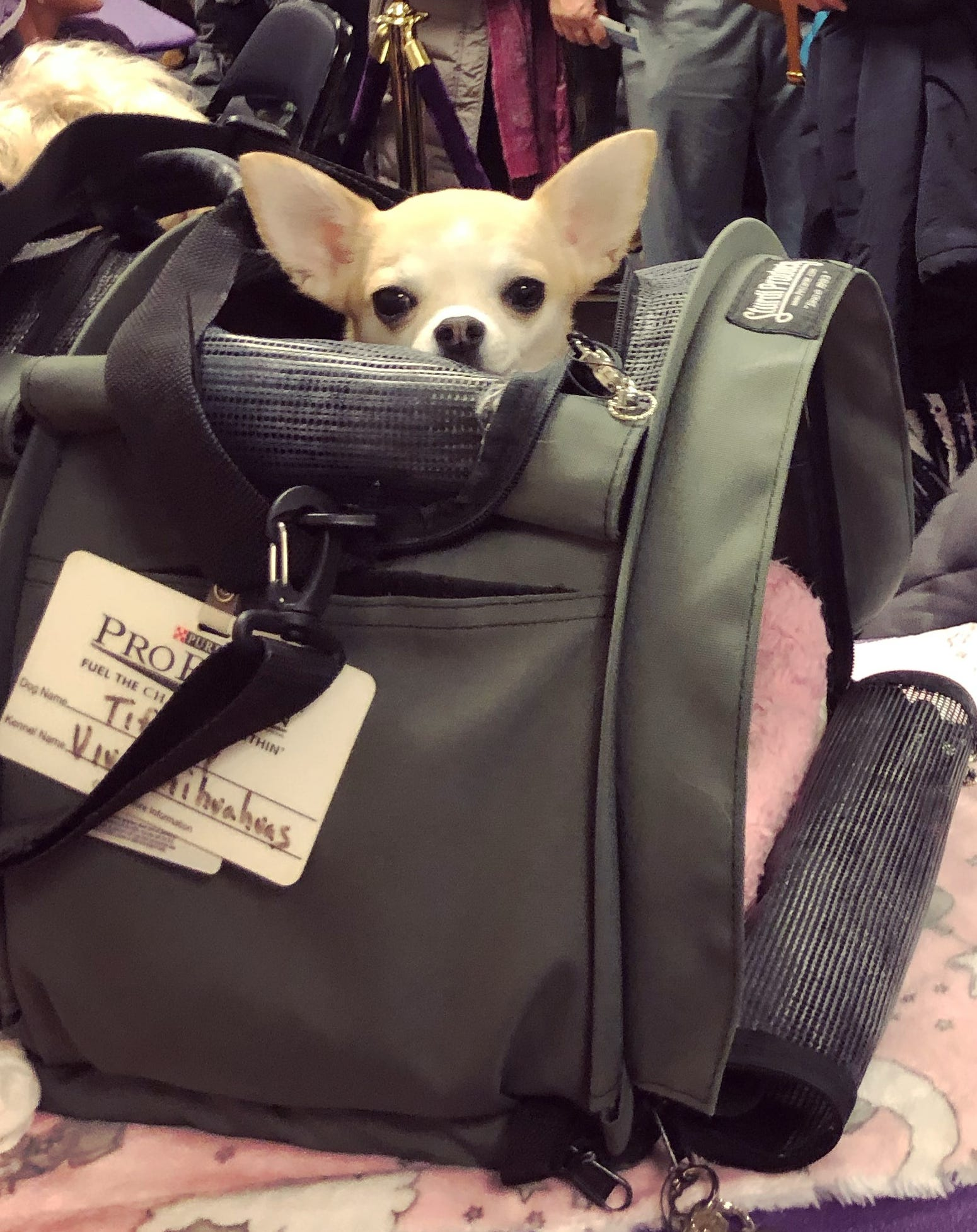 Tiffany, a smooth-coat Chihuahua from Delaware, peeks out of her carrier at the 143rd annual Westminster Kennel Club Dog Show in New York on Monday, Feb. 11, 2019.
