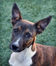 Jack is a 6-month-old, brindle Kelpie mix. He is smart, energetic, playful and available for adoption at the Wichita Falls Animal Services Center.