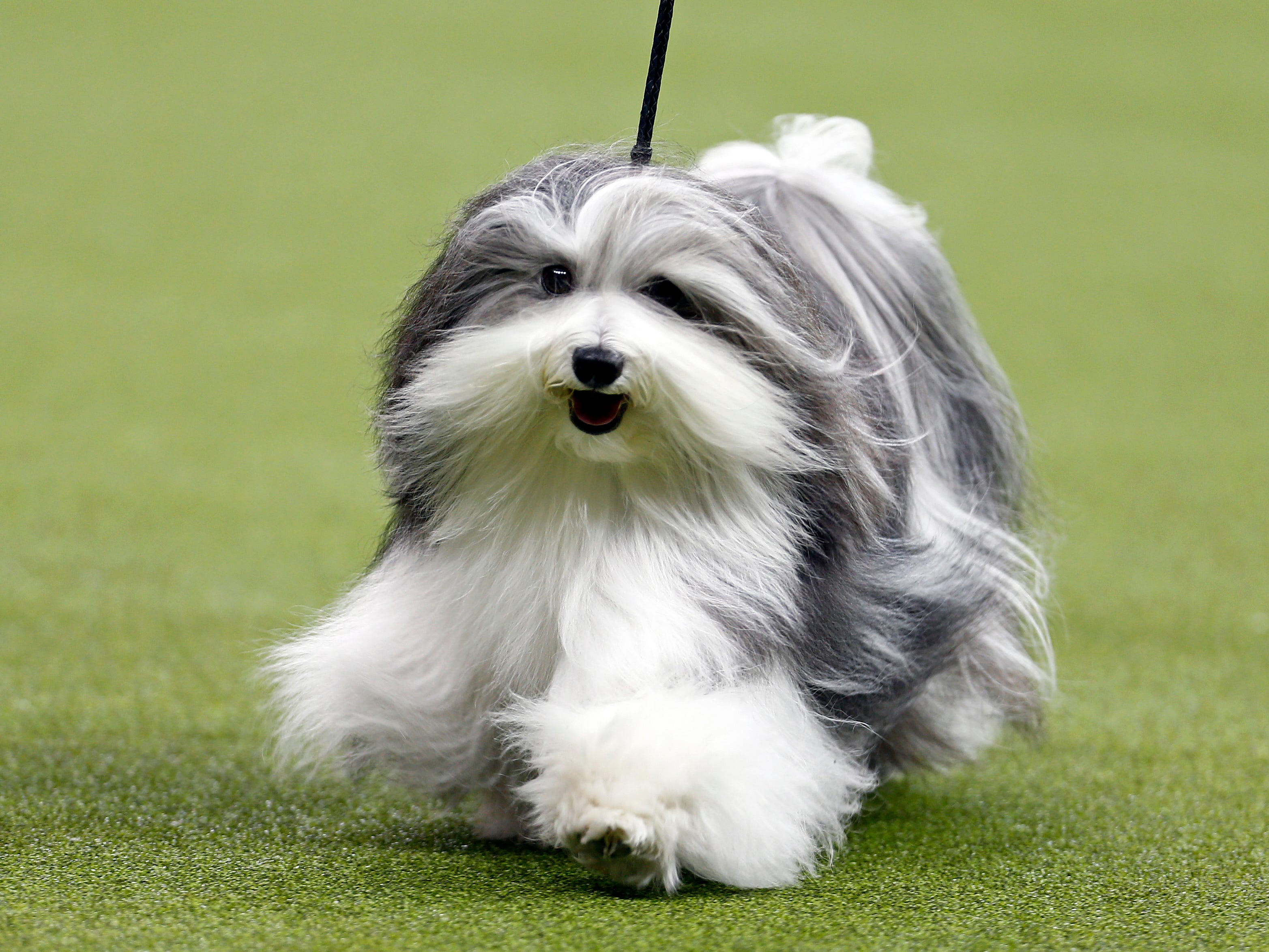 This is Bono a Havanese winner in the Toy group.