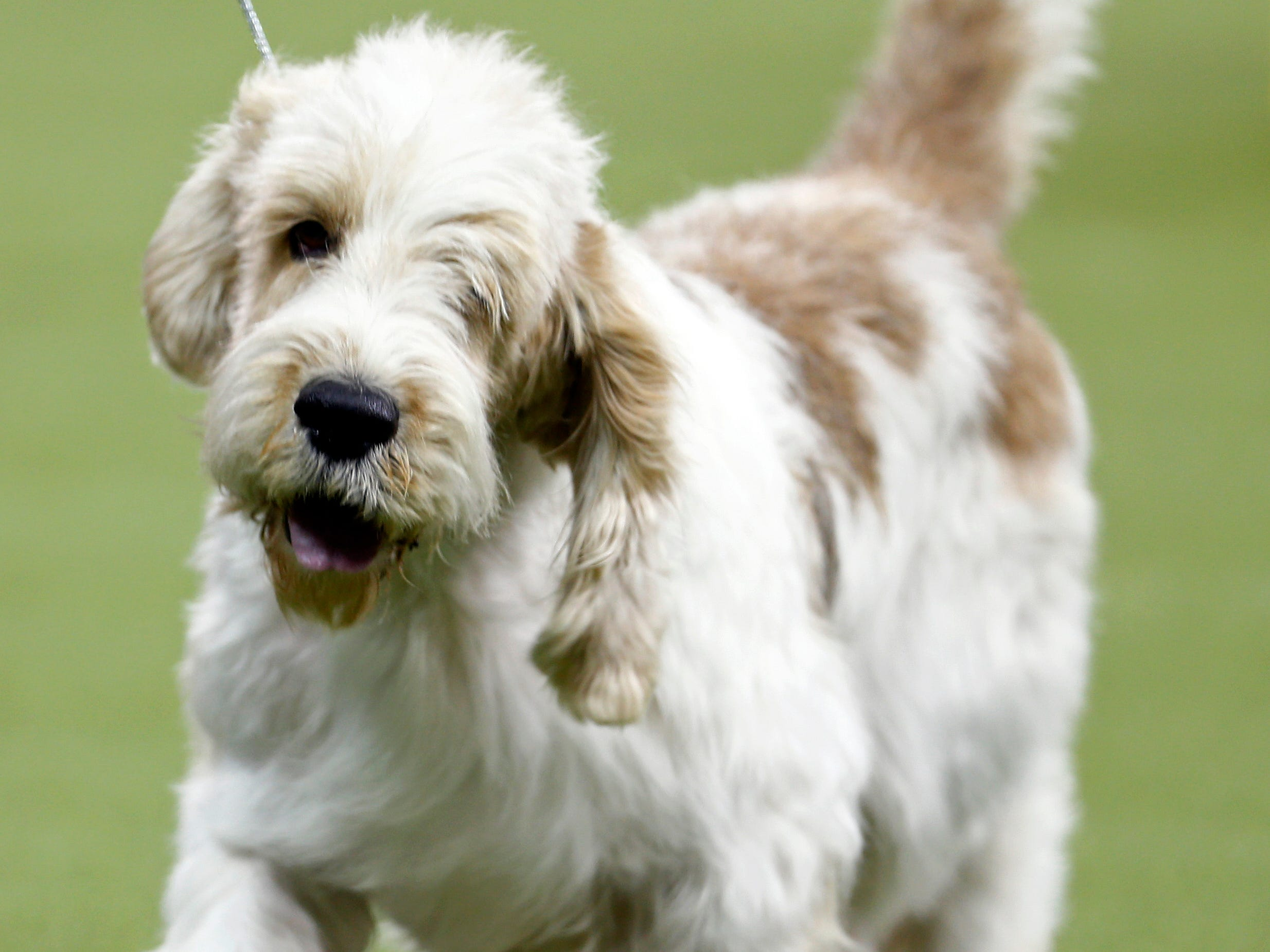 A Grand Basset Griffon Vendeen, new this year to the show, is seen during breed judging at the 143rd Annual Westminster Kennel Club All Breed Dog Show at Madison Square Garden.