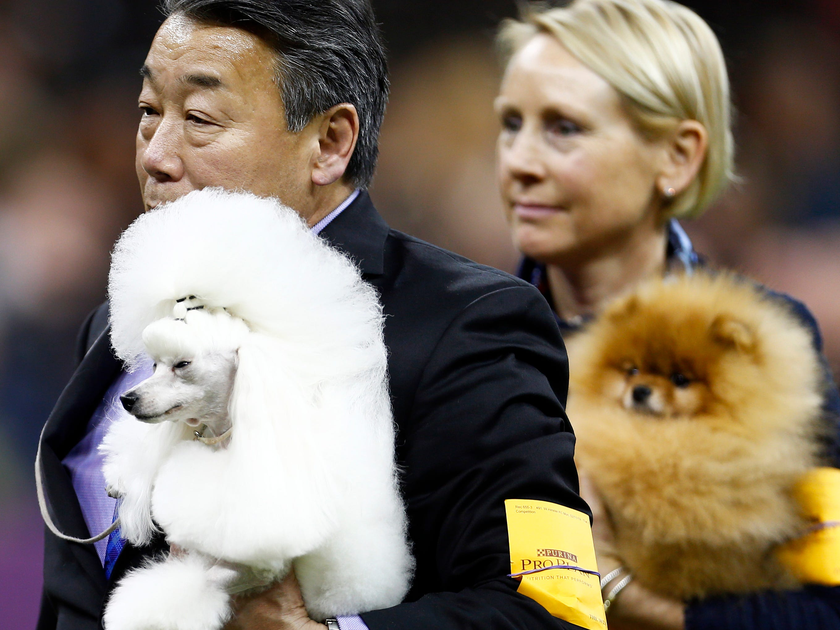 A Poodle is seen during breed judging at the 143rd Annual Westminster Kennel Club All Breed Dog Show at Madison Square Garden.