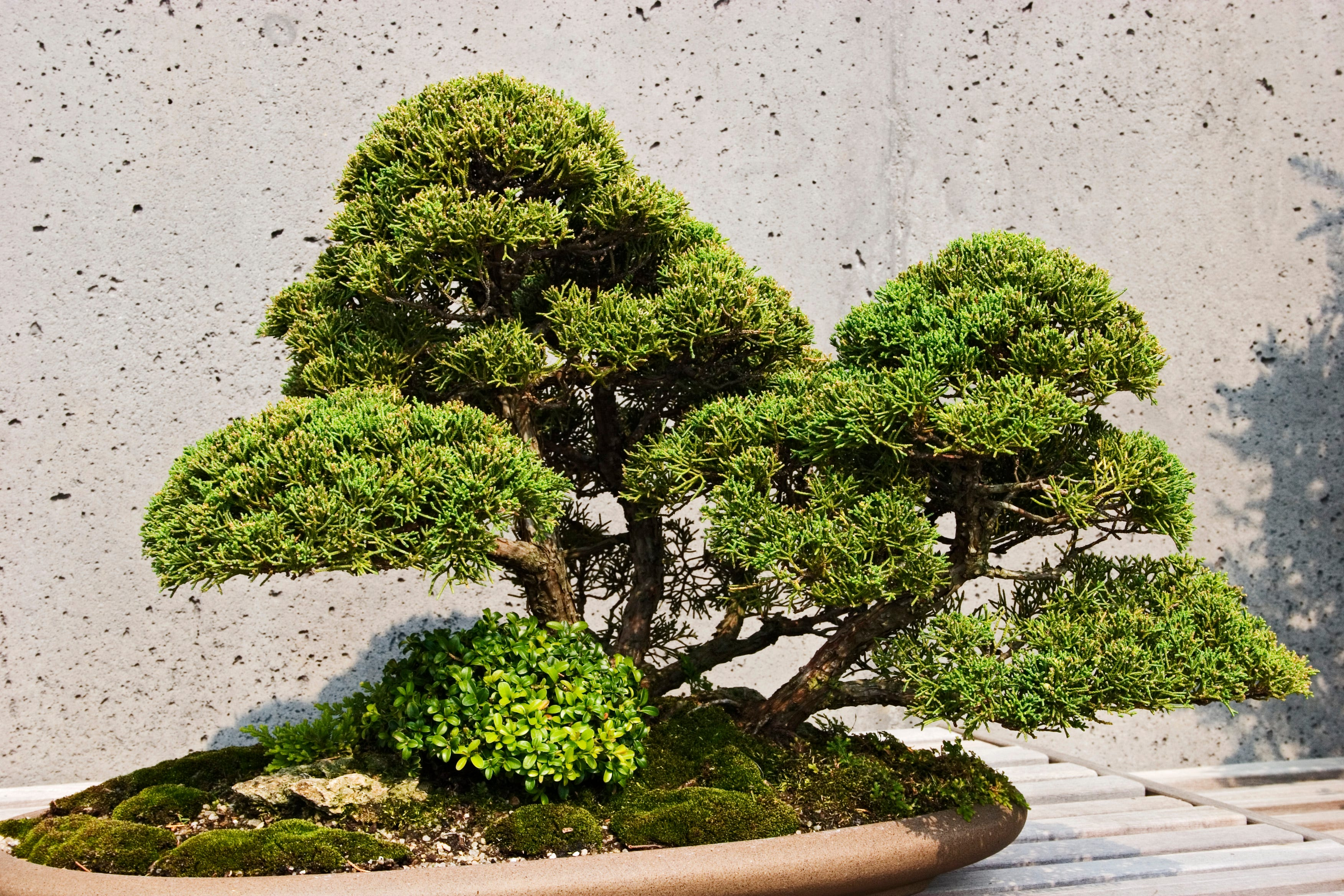4adc68d8-b272-4fc5-bbb0-9721b56e8a36-Bonsai Japanese couple to bonsai thieves: Please water 400-year-old plant worth over $50,000