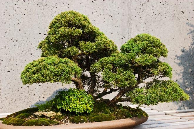 A Shimpaku bonsai tree at the North Carolina Arboretum outside Asheville, North Carolina.