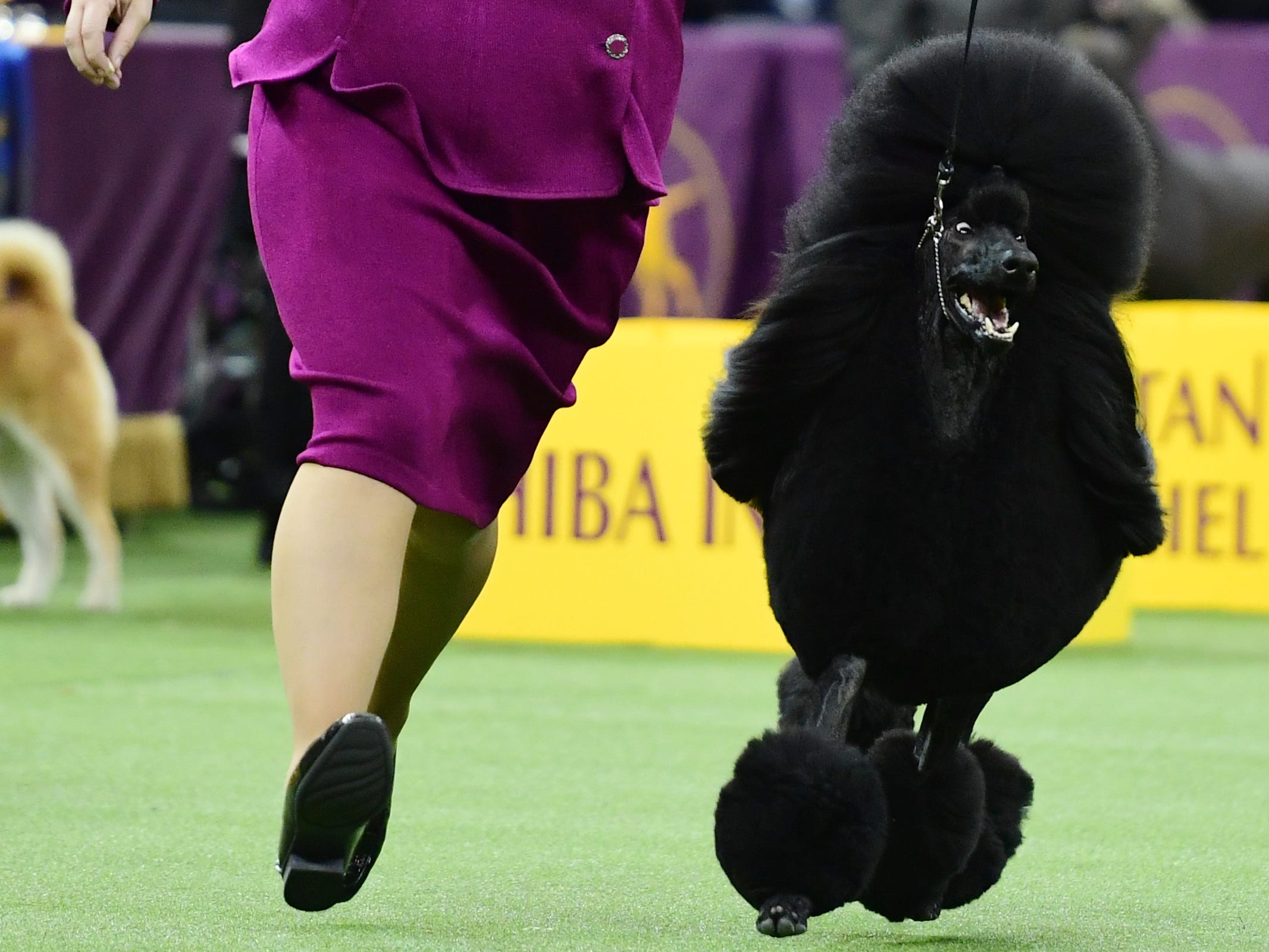 The Standard Poodle and trainer compete during the Non-Sporting Group judging at the 143rd Westminster Kennel Club Dog Show at Madison Square Garden.