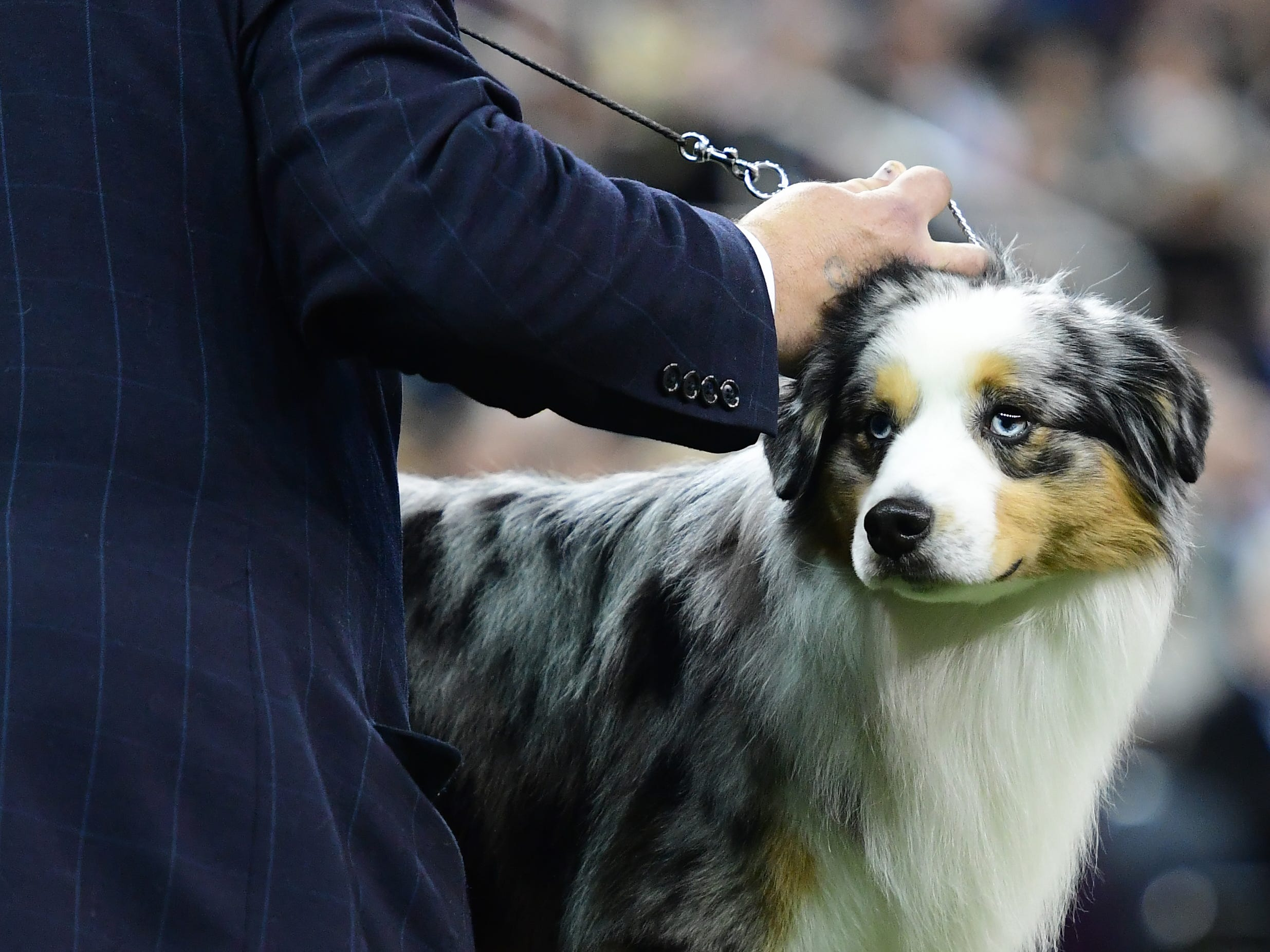 The Miniature American Shepherd 'Abingtons Way Out West' competes during the Herding Group judging at the 143rd Westminster Kennel Club Dog Show.