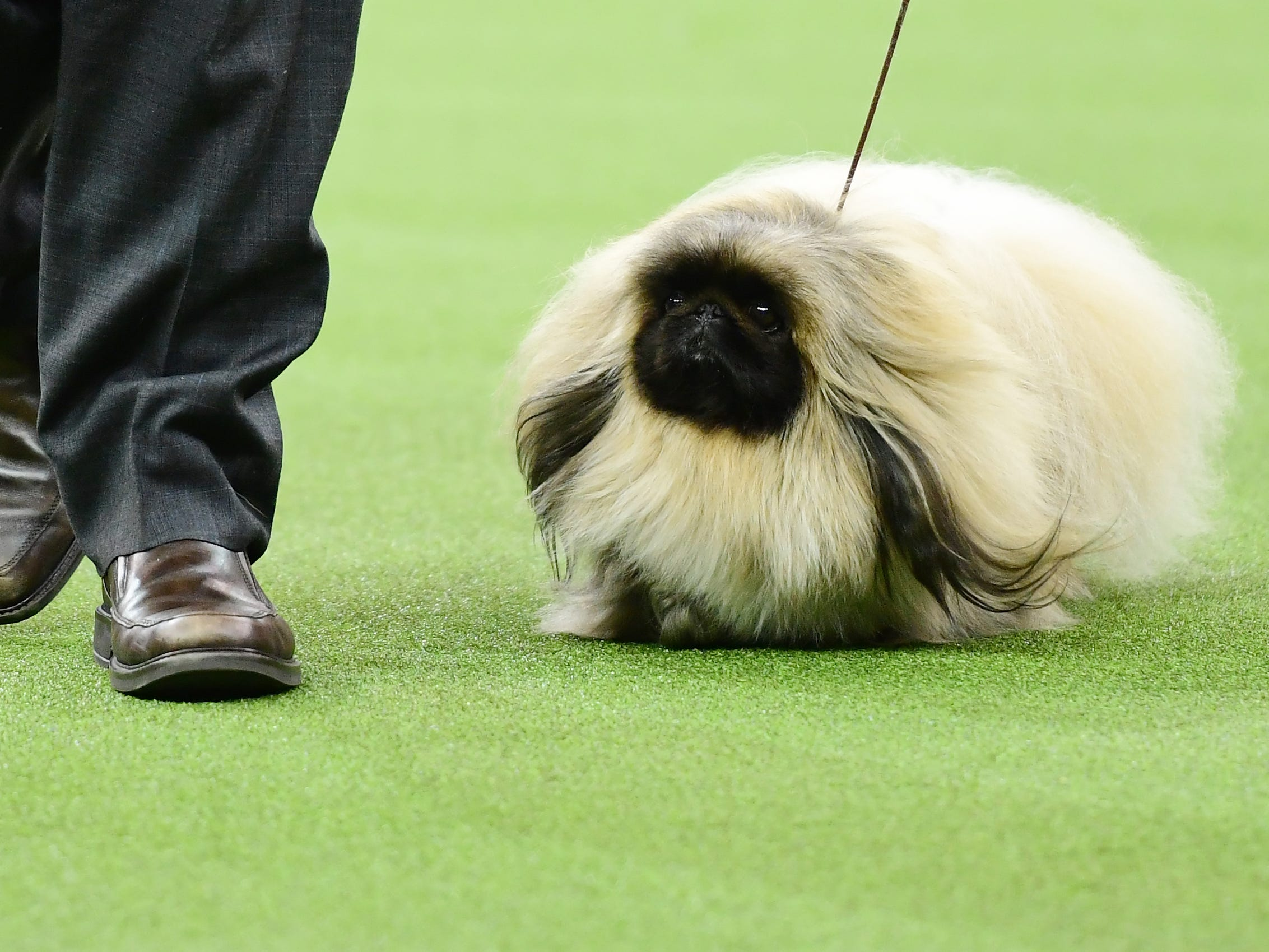 The Pekingese 'Pequest Primrose' and trainer compete during the Toy Group judging at the 143rd Westminster Kennel Club Dog Show at Madison Square Garden.