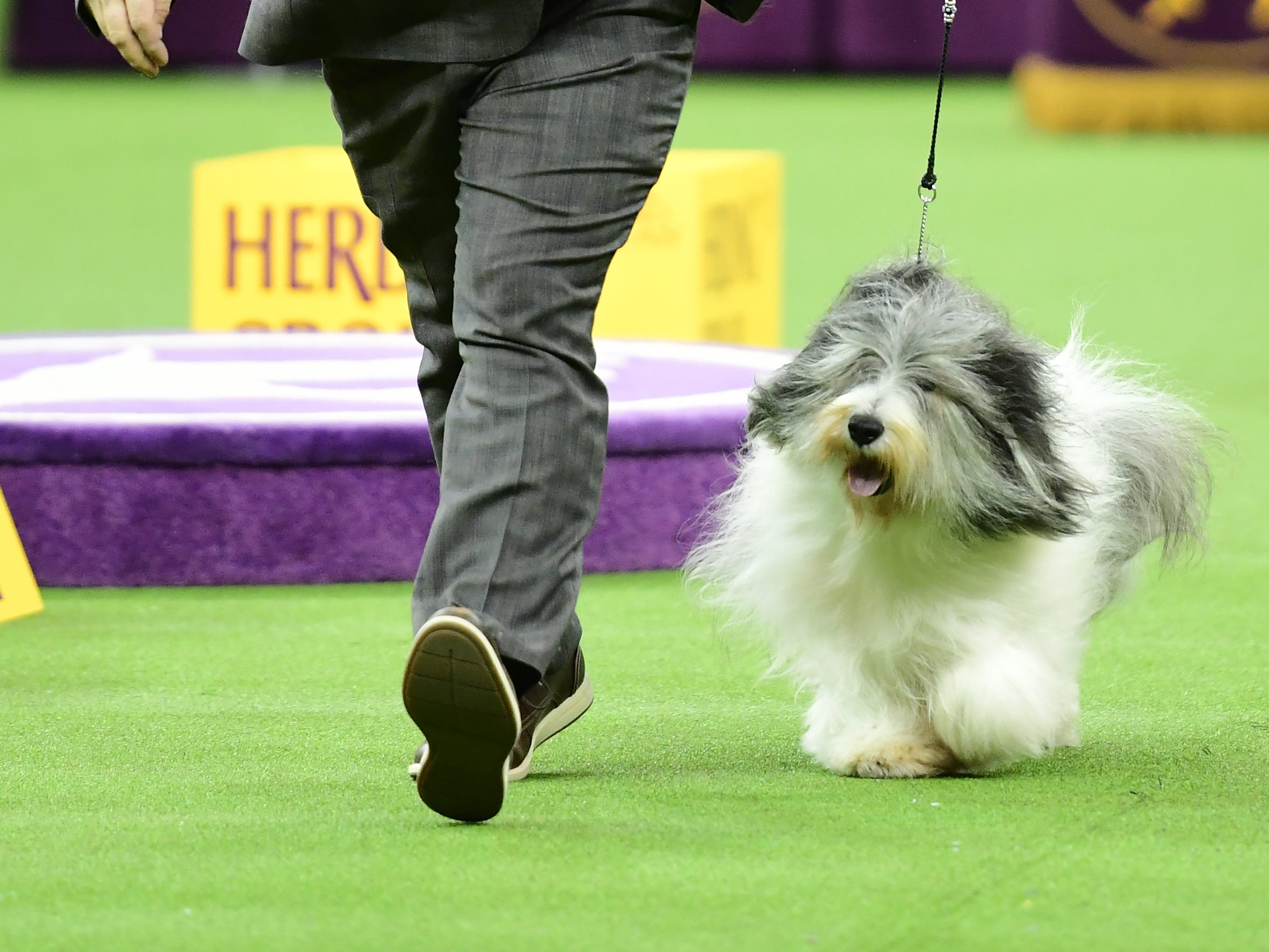The Polish Lowland Sheepdog and trainer competes during the Herding Group judging at the 143rd Westminster Kennel Club Dog Show.