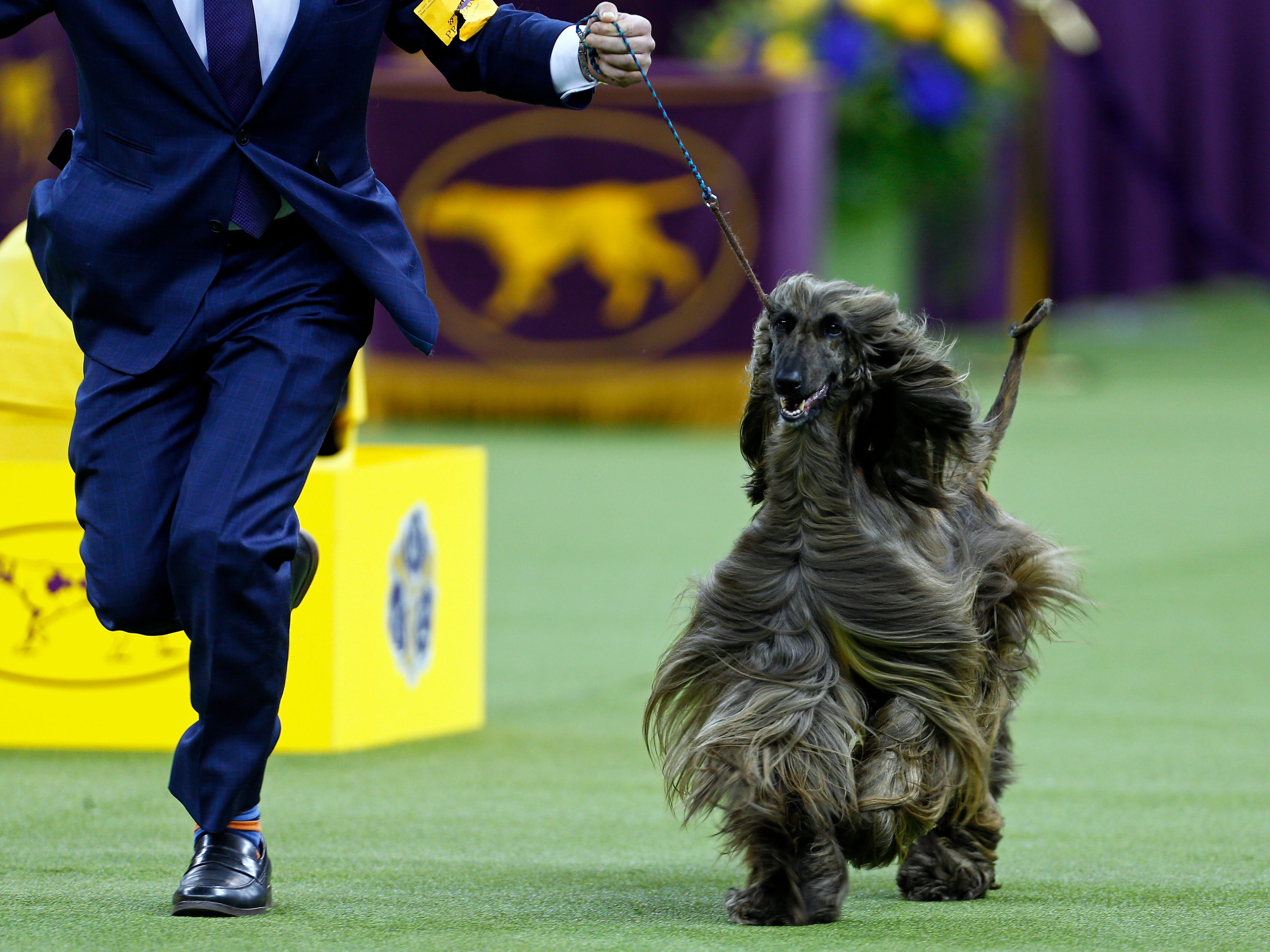 An Afghan Hound is seen during breed judging at the 143rd Annual Westminster Kennel Club All Breed Dog Show at Madison Square Garden.