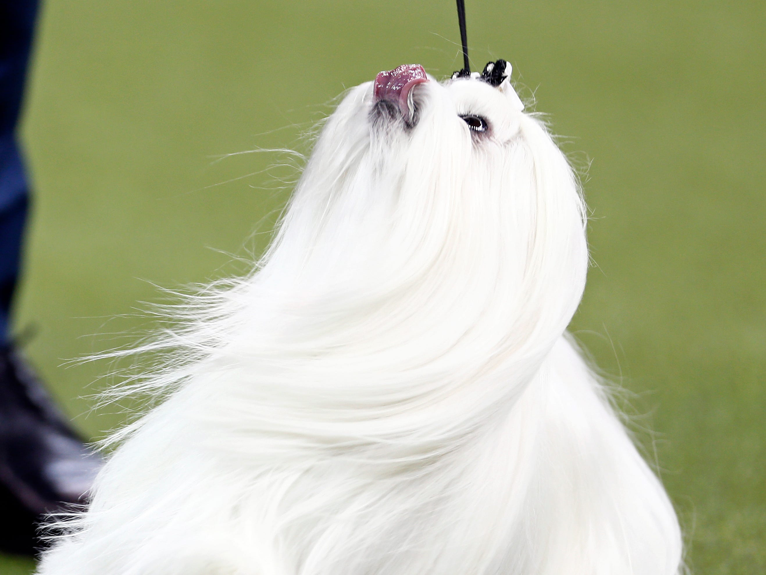 A Maltese is seen during breed judging at the 143rd Annual Westminster Kennel Club All Breed Dog Show at Madison Square Garden.