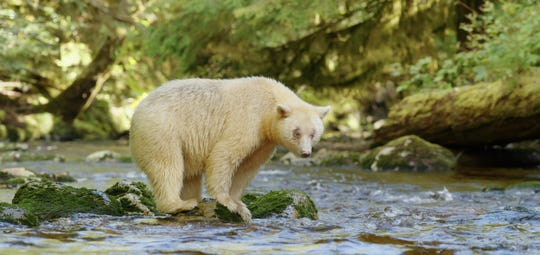 "Mox, the all-white spirit bear and star of ""The Great Bear Rainforest."""